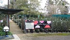 Camellia Grove Nursery at Glenorie