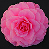 Camelia Japonica - Betty Ridley